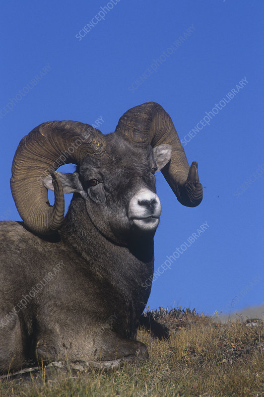 Bighorn Sheep ram resting