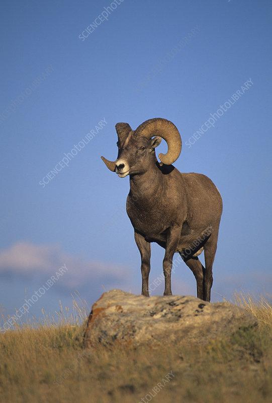 Bighorn Sheep ram (Ovis canadensis)