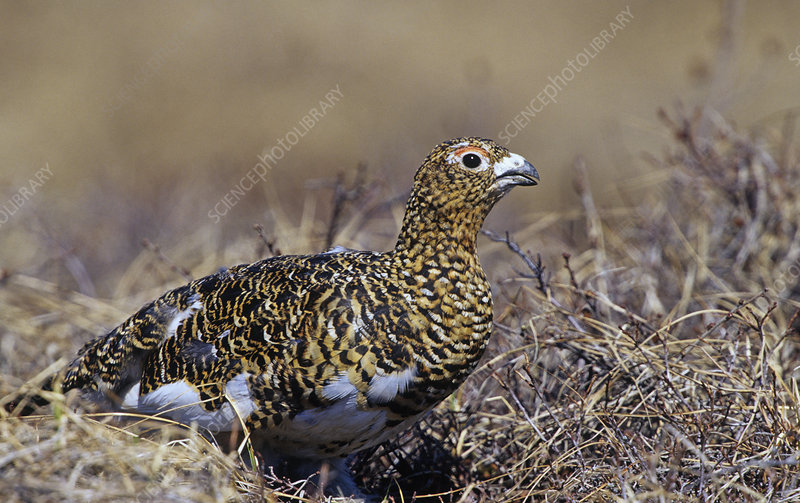 A female Willow Ptarmigan in summer