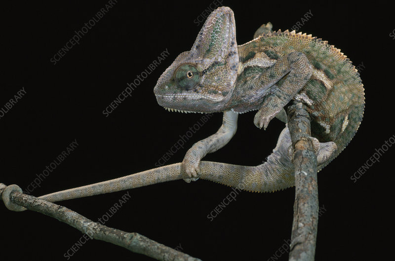 Male Veiled Chameleon