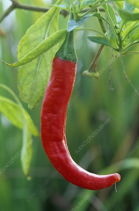 Hot Pepper (Capsicum frutescens)