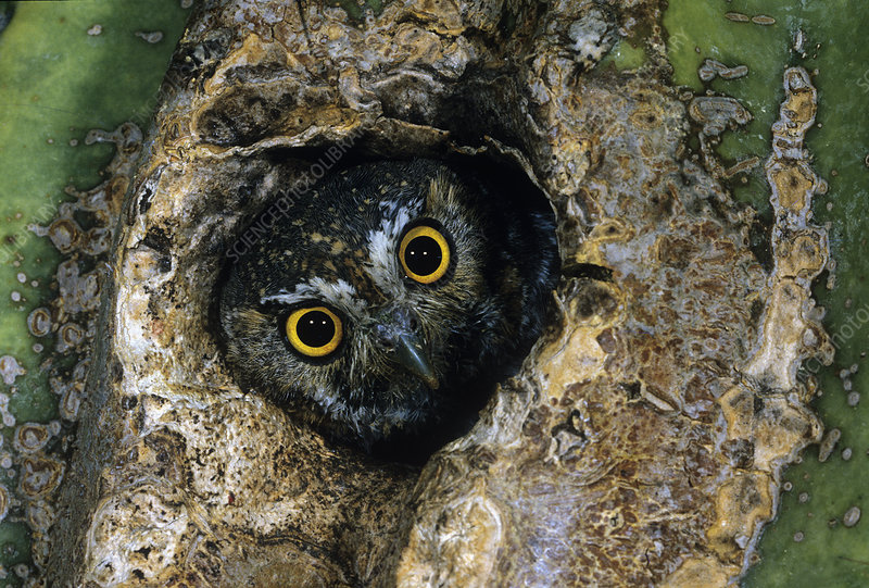 Elf Owl peering from a hole