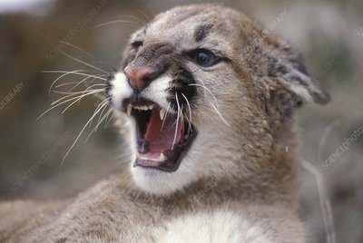 Juvenile female Mountain Lion snarling