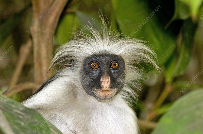 charts on zanzibar red colobus monkey