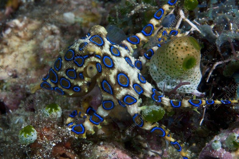 mollusk asian singles Senilia senilis is a species of edible saltwater clam, a marine bivalve mollusk in the family arcidae, the ark shells.