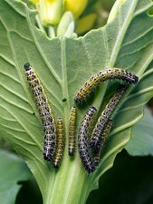 Cabbage white butterfly caterpillars