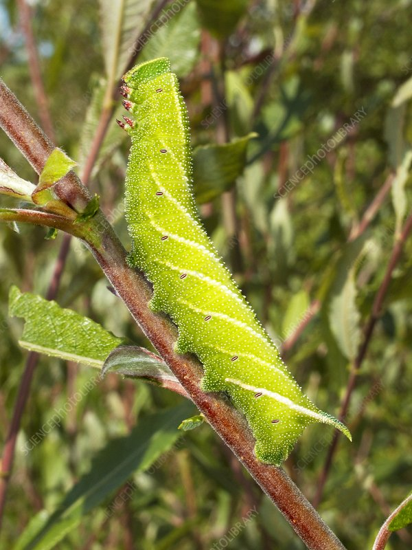 Eyed hawk-moth caterpillar