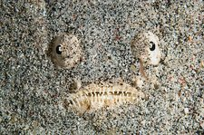 Stargazer fish buried in the seabed