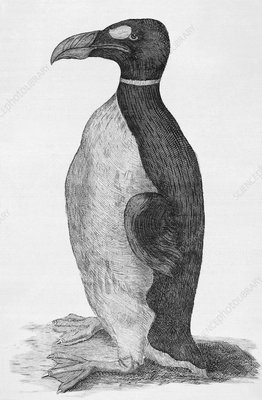 Great Auk (Pinguinus impennis), engraving