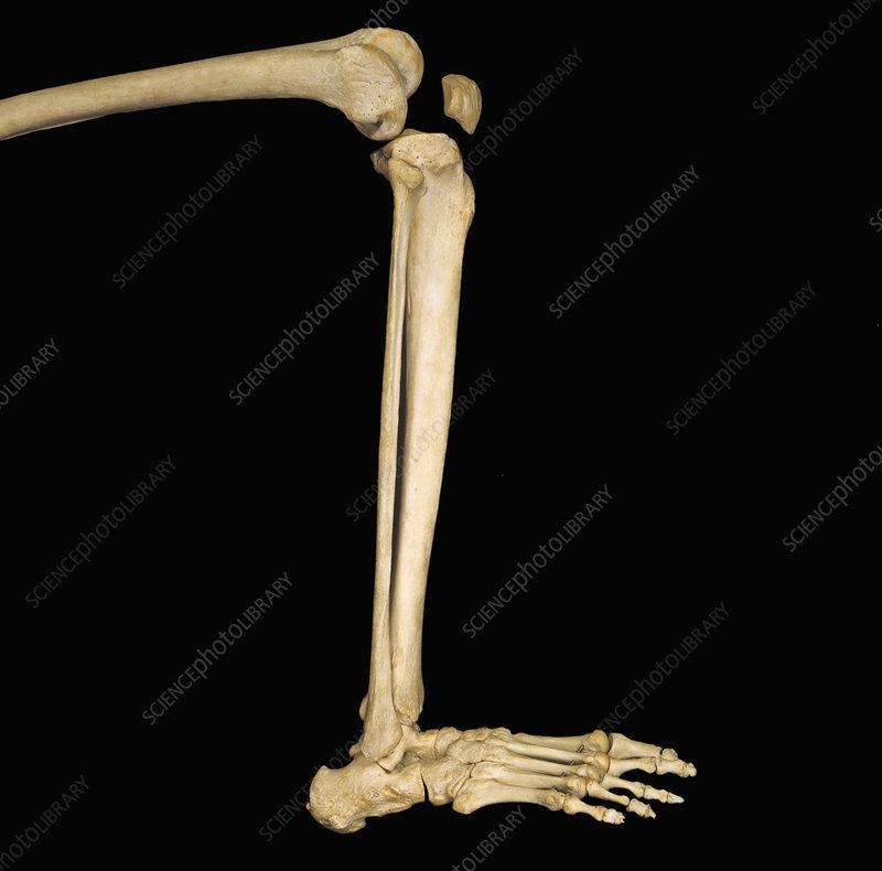 Human Lower Leg Bones Stock Image C0054954 Science Photo Library
