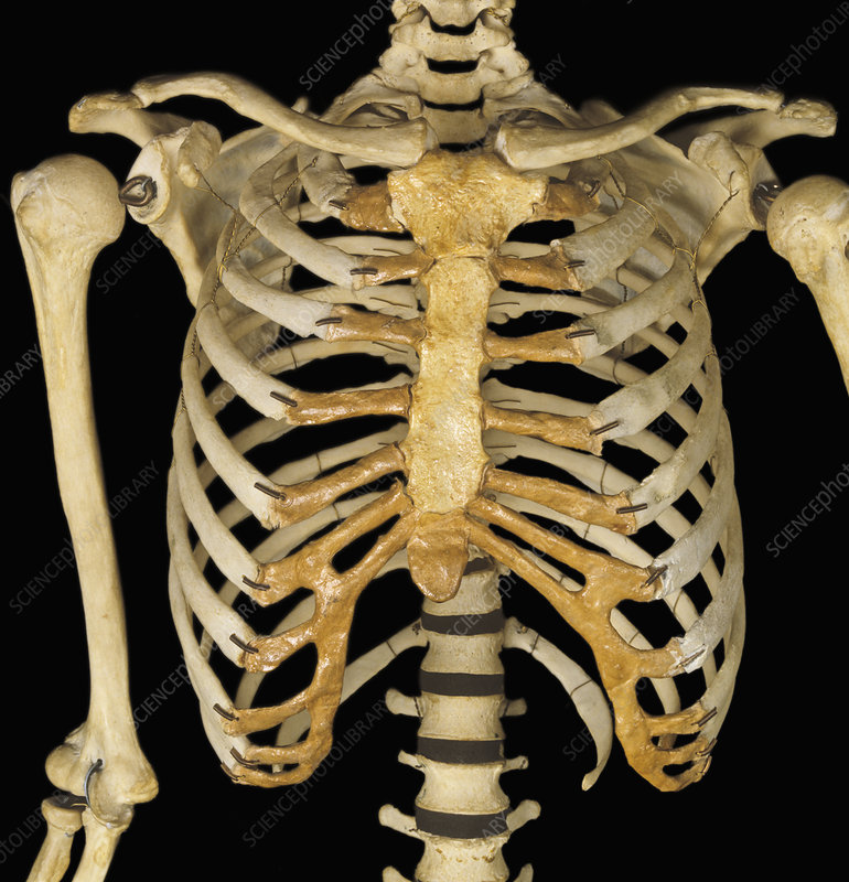 Sternum Ribs Clavicle Anterior View Stock Image C0054962