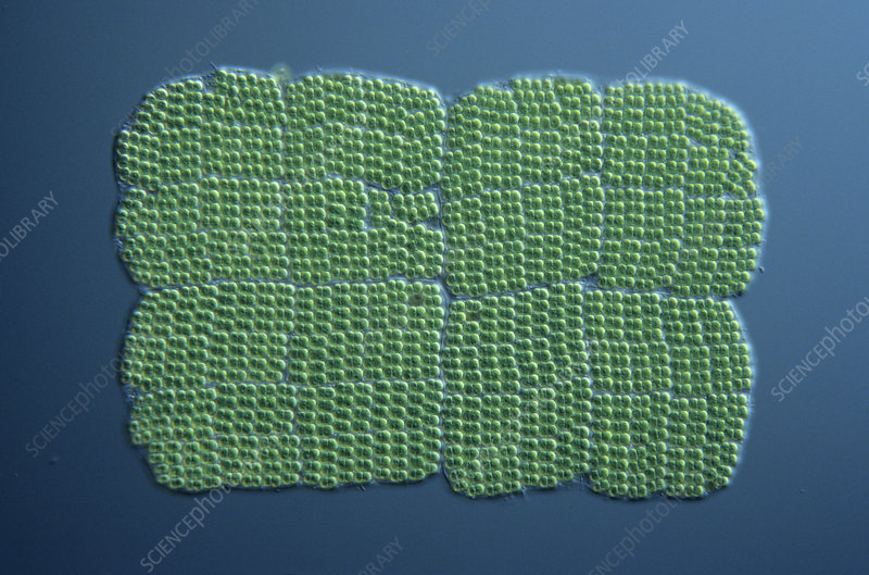 Merismopedia colonial Cyanobacteria - Stock Image C005 ...