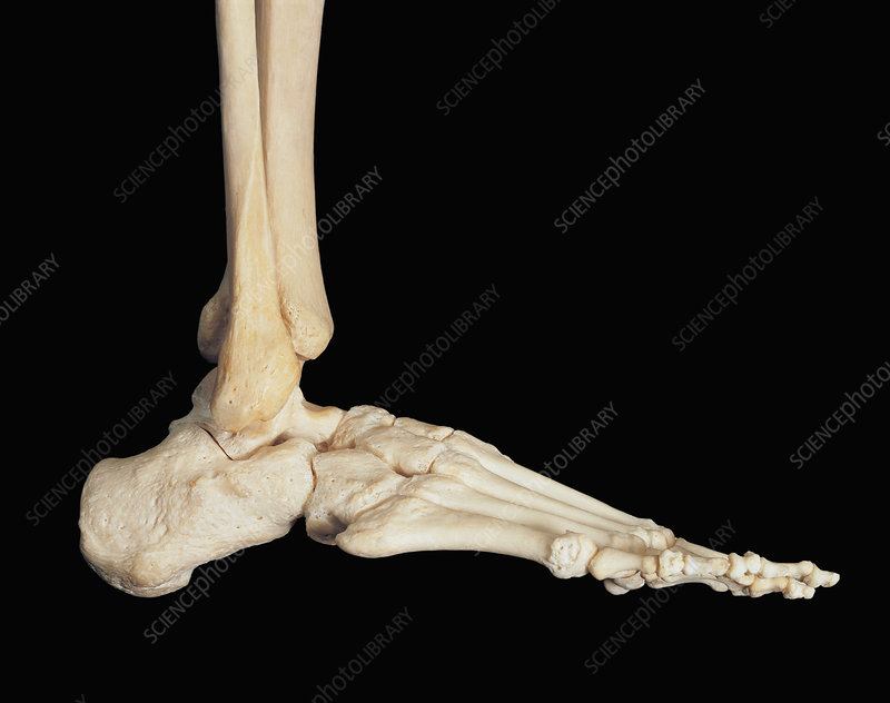 Human skeleton foot side - photo#28