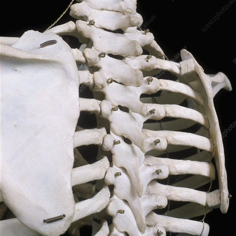 Human skeleton back view - Stock Image C005/5381 - Science Photo Library