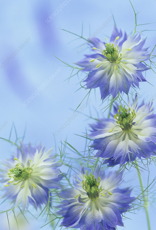 Love-in-a-Mist flowers