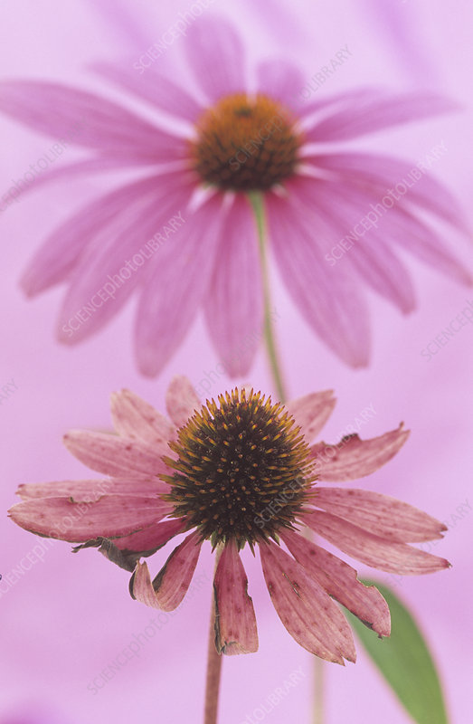Purple Coneflower stages