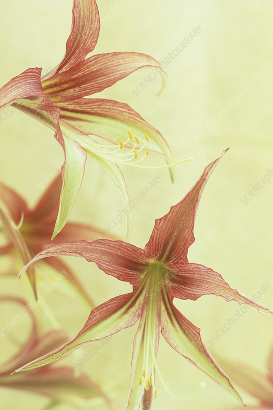 Amaryllis flowers (Hippeastrum)