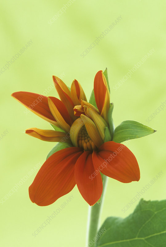Opening of a Mexican Sunflower