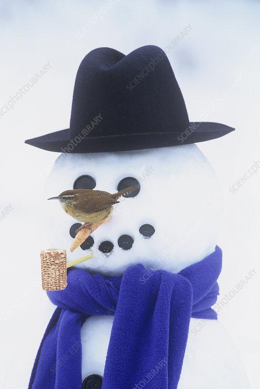 Carolina Wren on a snowman