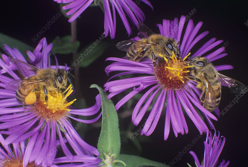 Honey Bees pollinating
