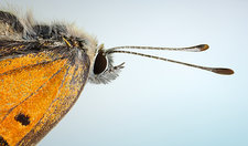 Head Small Copper Butterfly