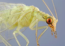 Head of a Green Lacewing