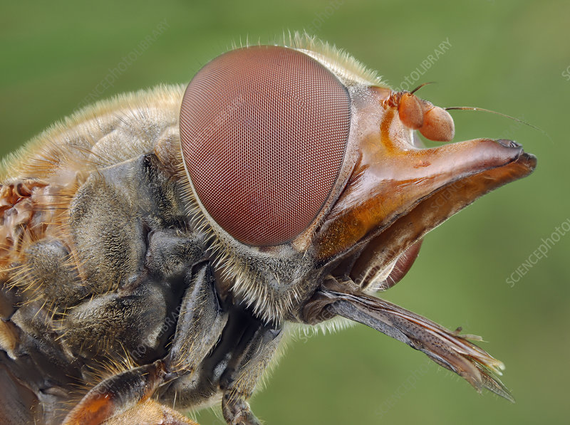 Head of a Hoverfly, compound eyes