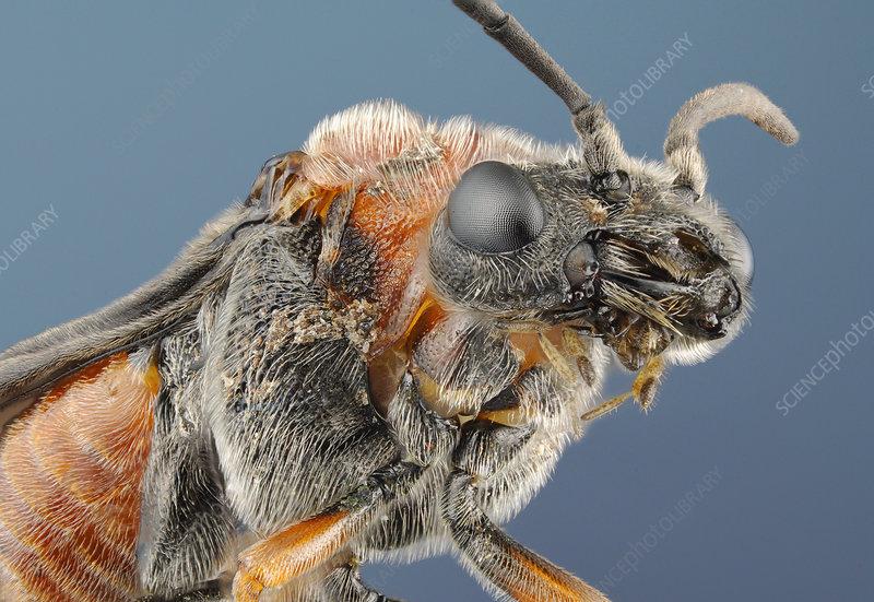 Head of a sawfly