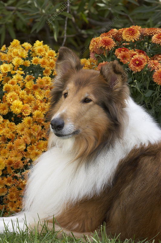 Collie with rough coat