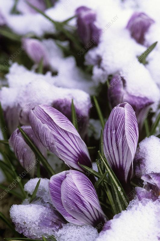 Crocus vernus, Pickwick, in snow