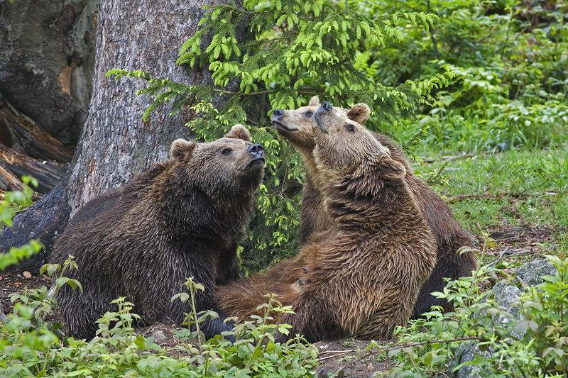 Brown Bears (Ursus arctos)
