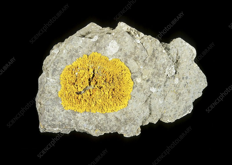 Xanthoria parietina lichen on a rock