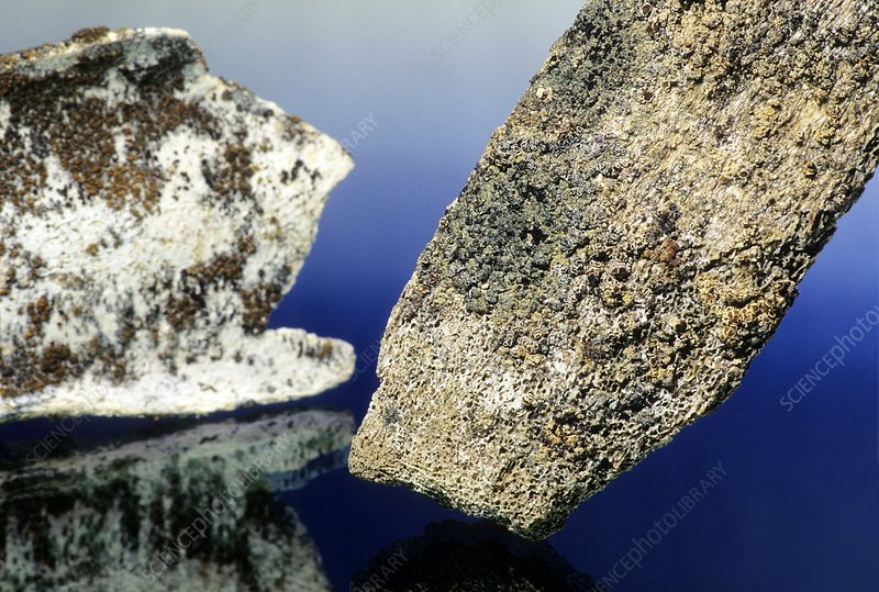 Lichen on growing on bone