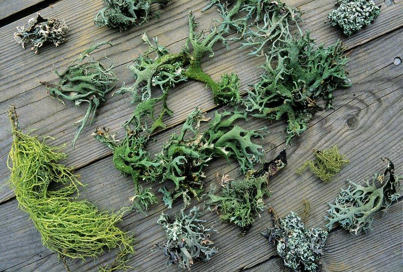 Various green lichens