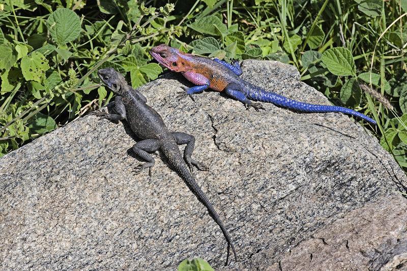 Common Agama Lizards (Agama agama)