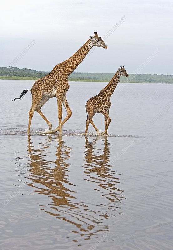 Adult and young Masai Giraffe