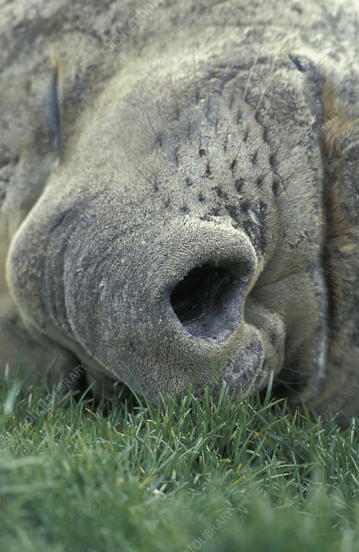 Southern Elephant Seal resting