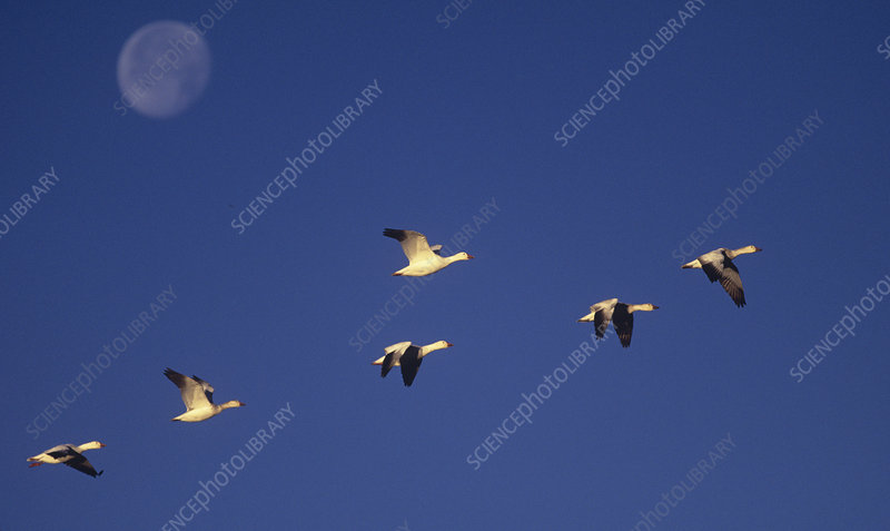 Snow Geese migrating