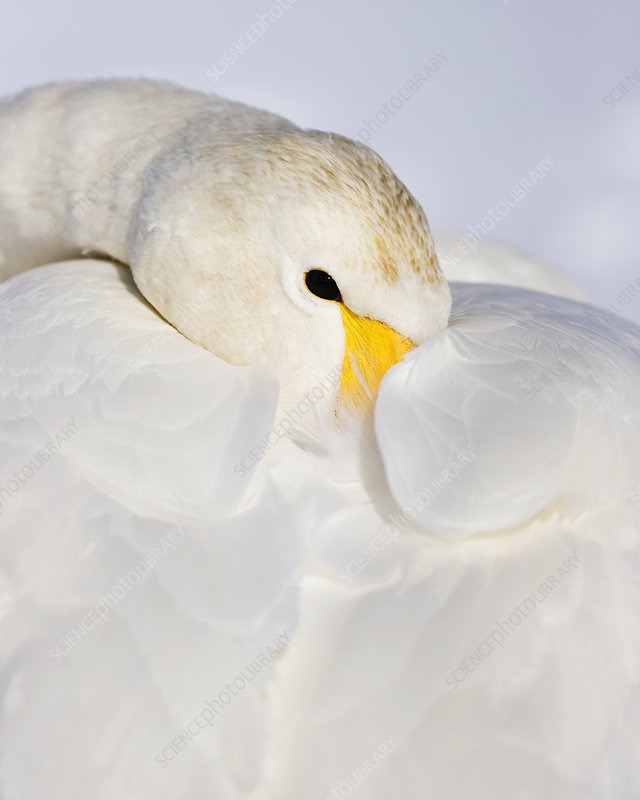 Whooper Swan resting its feathers fluffed