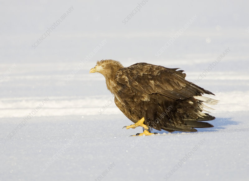 White-tailed Sea Eagle walking on snow