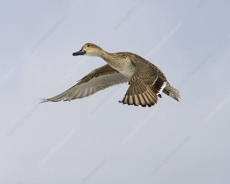 Northern Pintail Duck female in flight