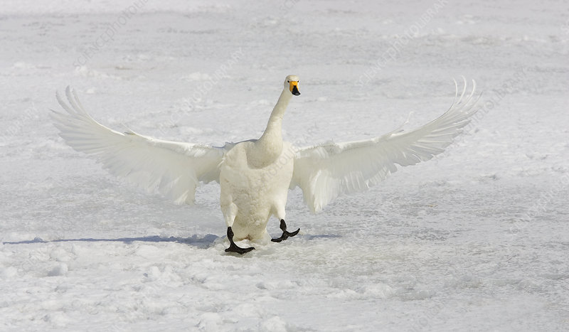 Whooper Swan landing on ice (Olor cygnus)