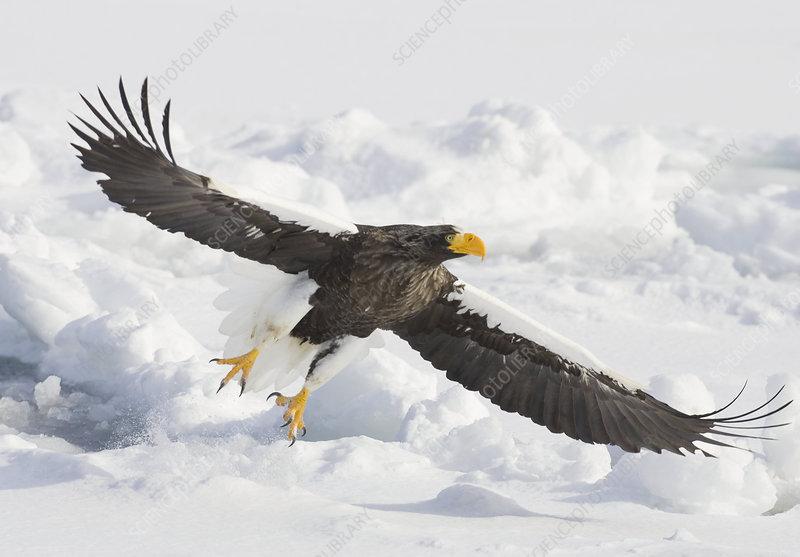 Steller's Sea Eagle flying