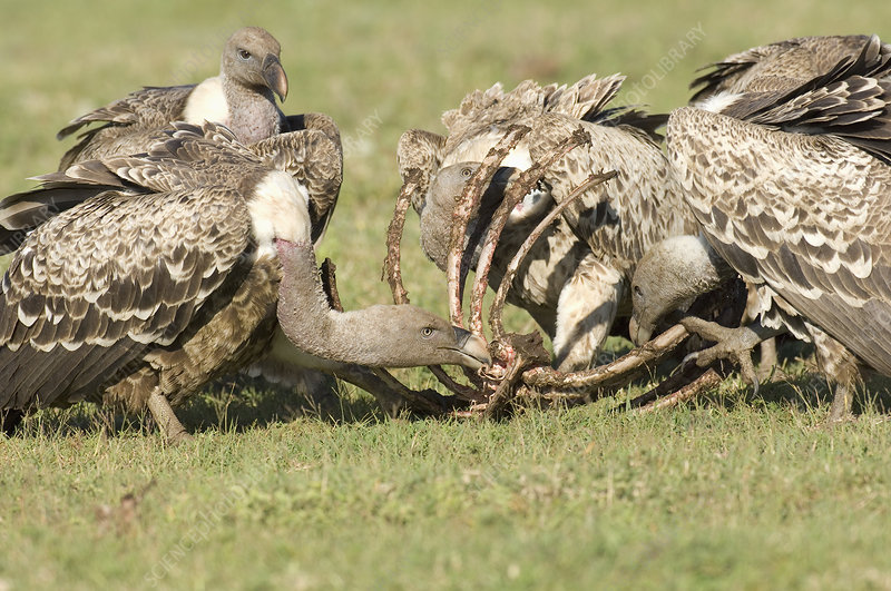 Ruppell's Griffon Vultures cleaning bones