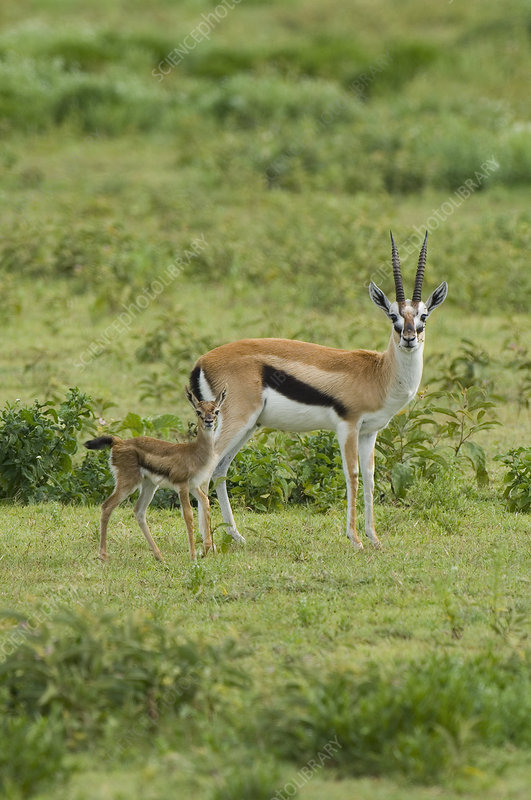 Thomson's Gazelle and its young fawn