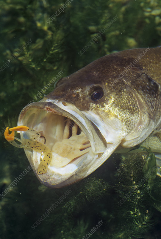 Largemouth Bass with plastic lure