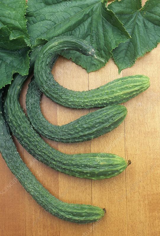 Cucumber, Suyo long, burpless