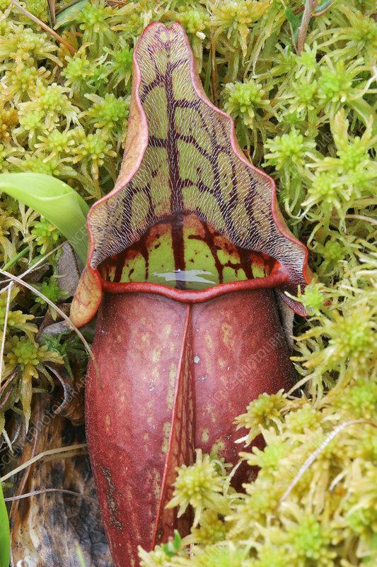 Pitcher Plant (Sarracenia)