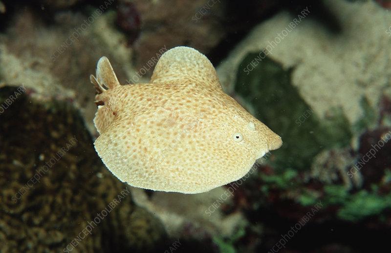 Scalloped Torpedo Ray (Torpedo panthera)