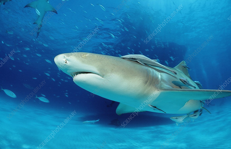 Lemon Shark (Negaprion brevirostris)